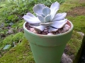 Succulent in clay pot